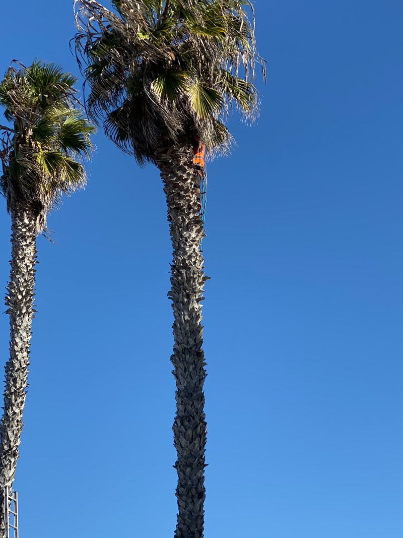 this is a picture folsom tree service care for palm trees