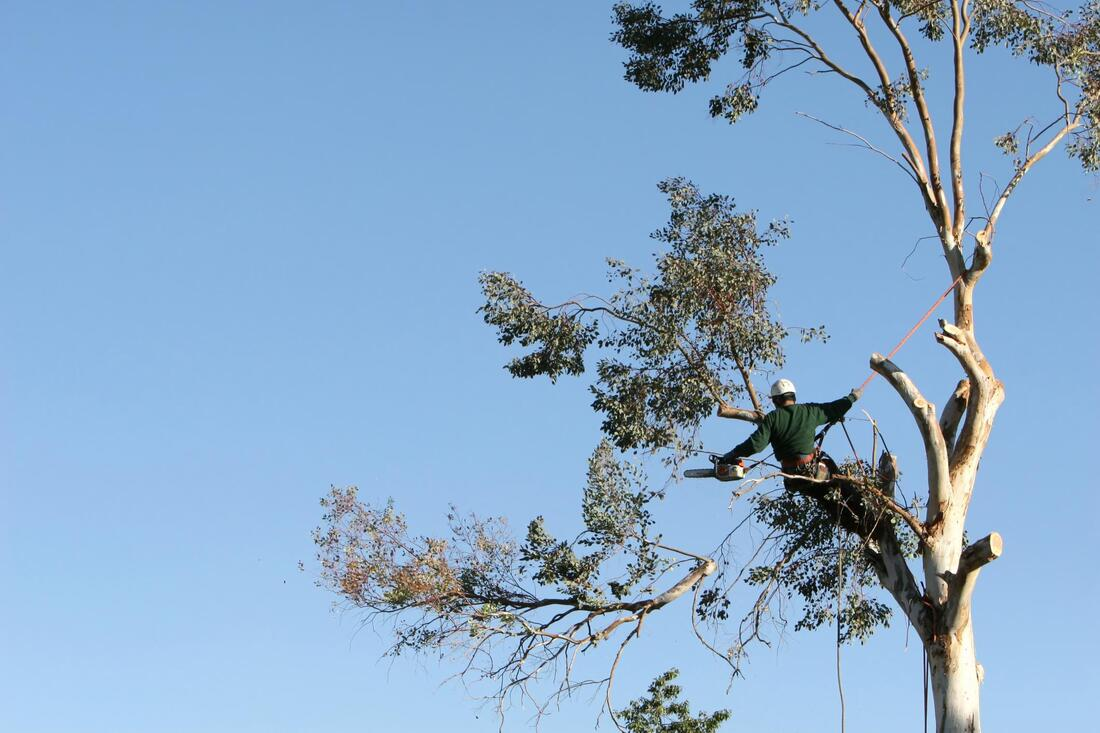 This is a picture of a tree service technician cutting, trimming, and pruning a tree
