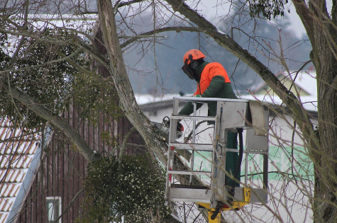 This is a picture of one of our tree pruning professionals pruning a large tree